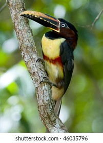 A Chestnut-eared Aracari (Toucan) perched on a vine - Argentina