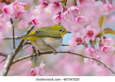 Chestnut-flanked White-eye (zosterops erythropleurus) bird is perching on pink cherry blossom. Beautiful yellow bird on Sakura branch.