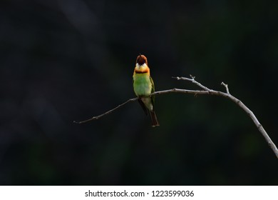 Chestnut-headed Bee-eater: a Bee-eaters found in Thailand but not as common as the Green Bee-eater, it's a seasonal bird in which they comes around mostly near winter or during winter.