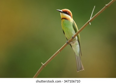 Chestnut-headed Bee-eater Merops leschenaulti adult, perched on twigh, green background, Sri Lanka, February
