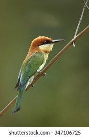 Chestnut-headed Bee-eater Merops leschenaulti adult, perched on twig, green background, Sri Lanka, February