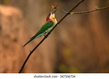 Chestnut-headed Bee-eater Merops leschenaulti adult, playing with butterfly, perched on branch, colony in background, Sri Lanka, February
