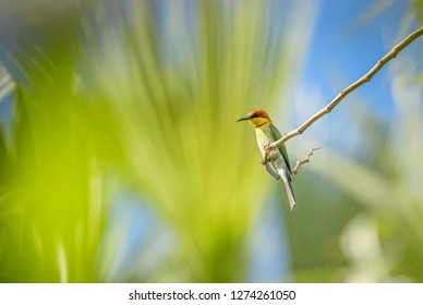 Chestnut-headed Bee-eater - Merops leschenaulti, beautiful colorful bee-eater from Asian woodlands and bushes, Bali, Indonesia.