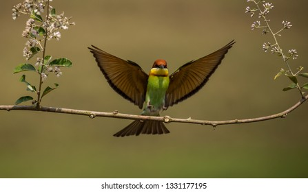 Chestnut-headed Bee-eater (Merops leschenaulti) Going to fly to the branch.