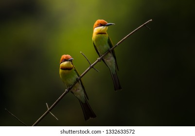 Chestnut-headed Bee-eater (Merops leschenaulti) on branch tree.