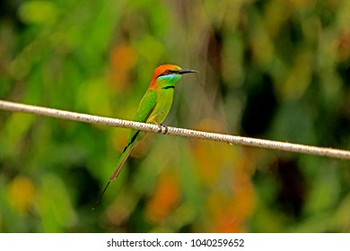 Chestnut-headed Bee-eater in Nature
