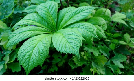 Chestnut-leaved Rodgersia, Rodgersia aesculifolia close up in early summer. It forms an exotic-looking clump of bold green foliage, supporting an airy plume of creamy-white flowers in mid-summer