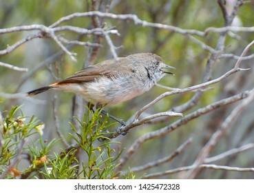 Chestnut-rumped thornbill Acanthiza uropygialis calls from Eremophila understorey of an outback inland woodland, showing its distinctive white eye and chestnut rump, tail or back.
