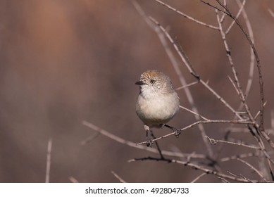 A Chestnut-rumped Thornbill, a small songbird endemic to Australia.