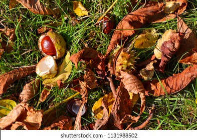 Chestnuts (Aesculus Hippocastanum) lying between grass and leaves at an autumn and sunny day
