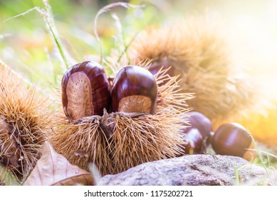 Chestnuts in a chestnut bur fallen to the ground with blurred, colorful and bright background at sunset. European species sweet chestnut (Castanea sativa)