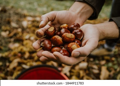 chestnuts. chestnut harvest. Autumn color
