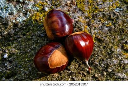 Chestnuts in the city park of Porto, Portugal