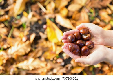 Chestnuts in hands on the fallen leaves background