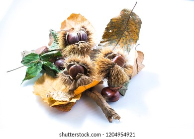 Chestnuts with hedgehog on a white background