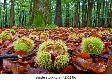 Chestnuts lying on the ground in autumn near a chestnut-tree