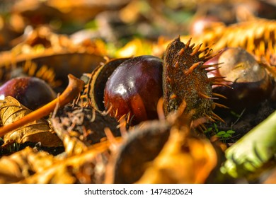 Chestnuts on the ground after falling from a tree. Bitter chestnuts are the seeds of Aesculus hippocastanum or horse chestnut and are not edible due to their bitter taste. Bitter horse chestnuts, open