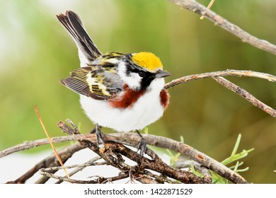 A Chestnut-sided Warbler brightens up a small patch of trees on the Colorado prairie.