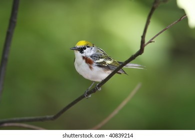 Chestnut-sided Warbler (Dendroica pensylvanica), Spring male in perfect breeding plumage in New York's Central Park.