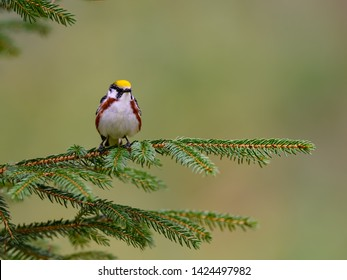 Chestnut-sided Warbler Perched on Spruce Tree Branch on Green Background in Spring