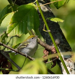 A chestnut-sided warbler (Setophaga pensylvanica) in fall plumage hunts for insects in a tree during fall migration