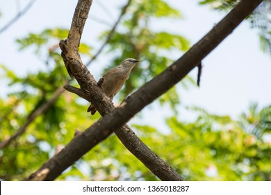 Chestnut-tailed Starling: also called the Grey-headed Myna is a starling, resident and partially migratory species in India and Southeast Asia. The yellow bill is sharp and used to pry barks open.