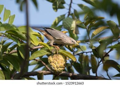 Chestnut-tailed Starling, Grey-headed Starling doing eat custard apple