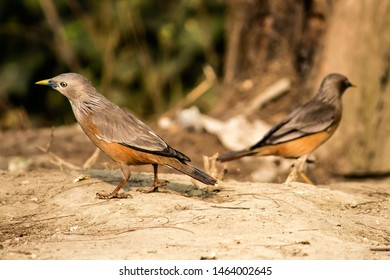 The chestnut-tailed starling or grey-headed myna is a member of the starling family.