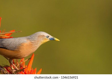 The chestnut-tailed starling or grey-headed myna (Sturnia malabarica )  is a member of the starling family. It is a resident or partially migratory species found in wooded habitats in Bangladesh.