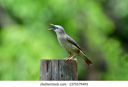 The chestnut-tailed starling or grey-headed myna (Sturnia malabarica]) is a member of the starling family. It is a resident or partially migratory species found in wooded habitats in Thailand.