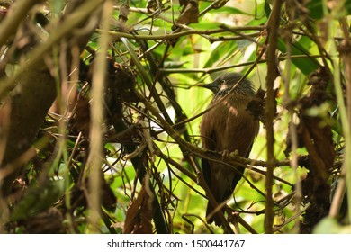 a chestnut-tailed starling is on the branches .