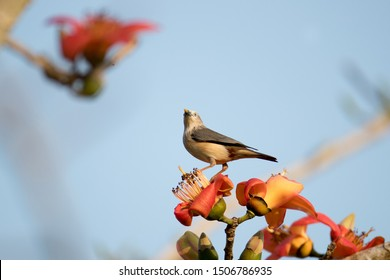 Chestnut-tailed starling (Sturnia malabarica) or grey-headed myna, high angle view, side shot, foraging on the wild red flowers under the blue sky in tropical moist forest, lower central of Thailand.