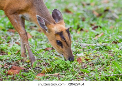 Chevrotain, Mouse-deer is eating grass of Thailand at Khao Yai National Park