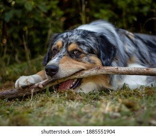 Chewing Australian Shepherd dog with his stick outside on the grass.