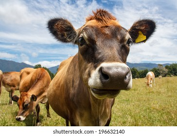 a chewing cow looking surprisingly straight into the camera