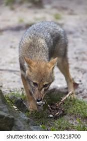 chewing immature golden jackal, Canis aureus