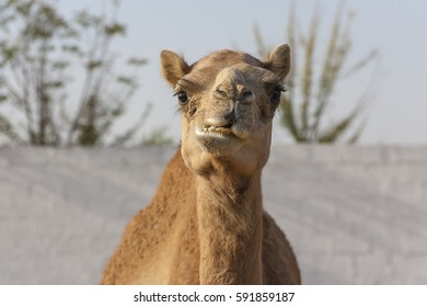 Chewing roadside Camel near Dubai, United Arab Emirates