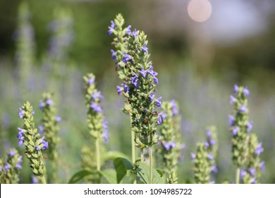 Chia flower or chia blossom (Salvia hispanica L.) are blooming and green foliage leaf of Chia  ,healthy organic herb growing in garden.