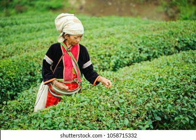 CHIANG MAI -OCT2017: hmong hill tribe harves tea plant in the morning at rai cha 2000, DOI ANG KANG , CHIANG MAI province ,northern of THAILAND