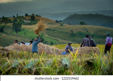 CHIANG MAI THAILAND  2 NOV 2018.Farmers are beating rice to separate seed from the trunks. The traditional of  manual threshing grain in Ban Pa Bong Paing village rice terraces Mae-Jam Chiangmai.