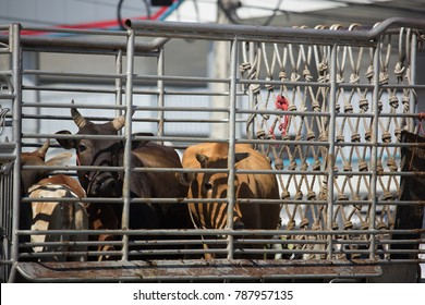CHIANG MAI, THAILAND -DECEMBER 22 2017:   Cow on Private Pick up truck . On road no.1001, 8 km from Chiangmai Business Area.