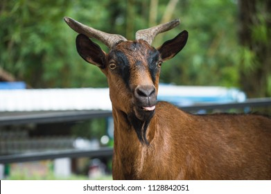 Chiang Mai, Thailand - July 1, 2018 :  At Chiang Mai Zoo, the goat is stick out it's tongue.