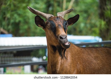 Chiang Mai, Thailand - July 1, 2018 :  At Chiang Mai Zoo, the goat is chewing  something.