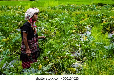 CHIANG MAI, THAILAND - JULY 23: Unidentified Akha tribe elderly woman,She grow Zucchini plants, vegetables lying on ground on Julyr 23, 2015. Chaing Mai, Thailand.