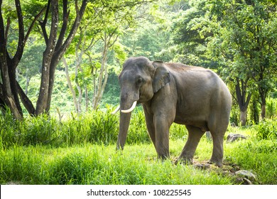 Chiang Mai, THAILAND - June 14, 2012: Mature male bull elephant with long tusks stands in the middle of the forest in the jungle of Chiang Mai. There are many conservation park in Chiang Mai.