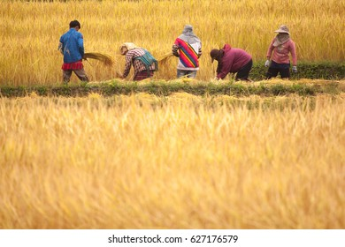 Chiang Mai, Thailand - Oct 13,2009:Group of Farmer are farming golden rice agriculture,