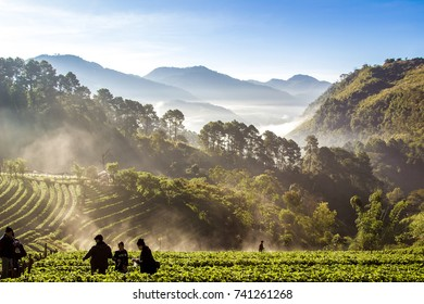 CHIANG MAI, THAILAND-December 11, 2016 Fog floating on the mountain in the morning on strawberry plantation, Ang Khang Chiang Mai, Thailand