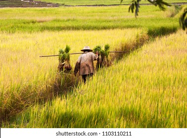 CHIANG MAI, THAILAND-JULY 17, 2009. A farmer in northern Thailand collecting and transporting rice on Chiang Mai on July 17, 2009