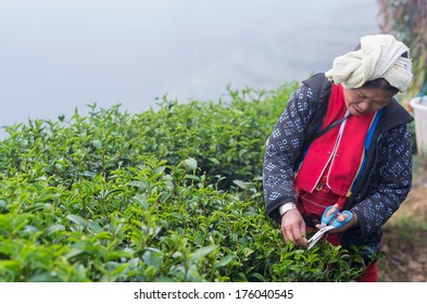 CHIANG MAI,THAILAND - JANUARY 11 : Unidentified farmer pick in tea leaves between green tea bushes on January 11, 2014 in tea field,ang khang, Chiang mai, Thailand.