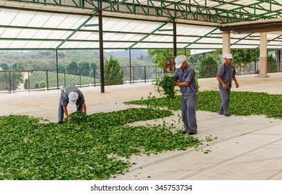 """CHIANG RAI - DEC,1 : Fresh green tea crop drying on long warm surface inside of tea factory for withering that tea factory named """" Shui Fong"""" where focuses on organic processing.THAILAND DEC,1 2015"""